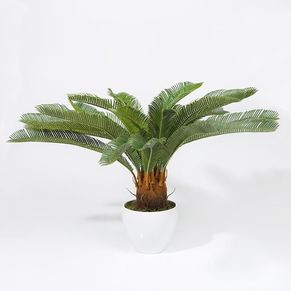 Cycad in Plastic Pot